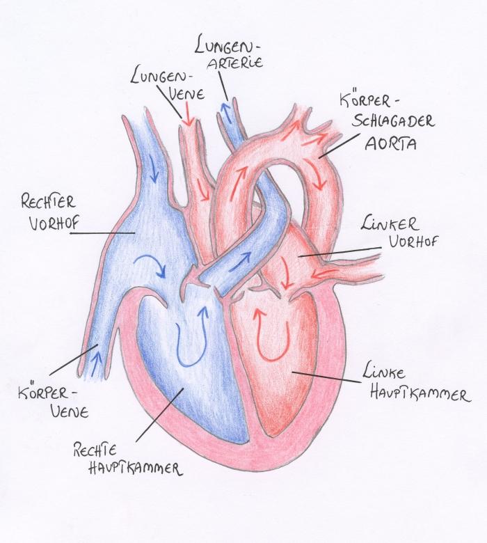 Das Herz - Menschenkunde an der Waldorfschule
